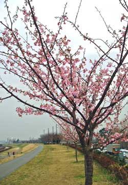 多摩川の土手に咲く桜の木(4本ほど)