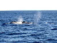 ブローが見えた2頭の鯨