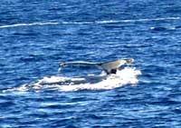 尾ひれを見せている鯨!